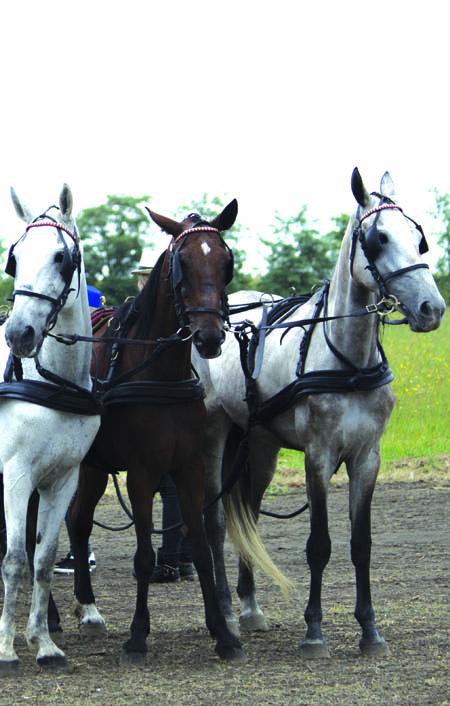 36 konji