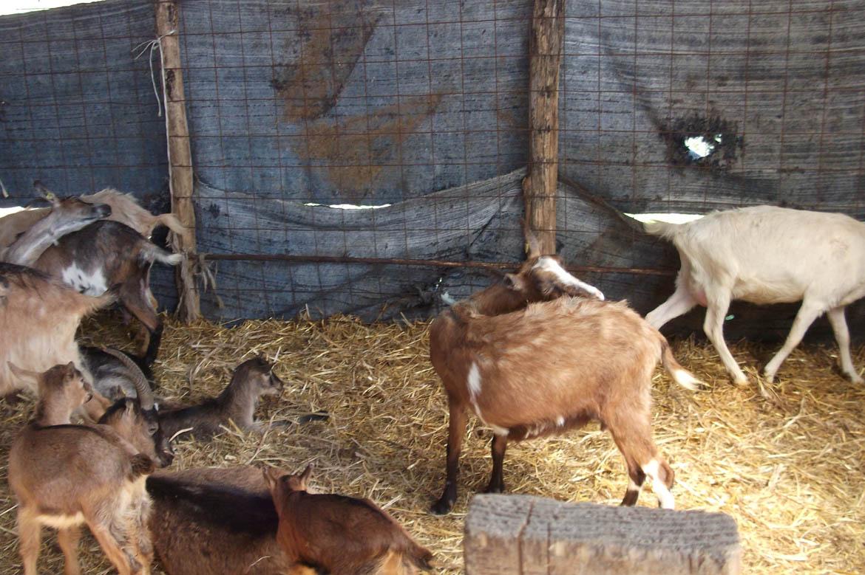 Мали ма потераз 20 старши гарла, 14 у процесу матиченя и 6 алпски и били кози
